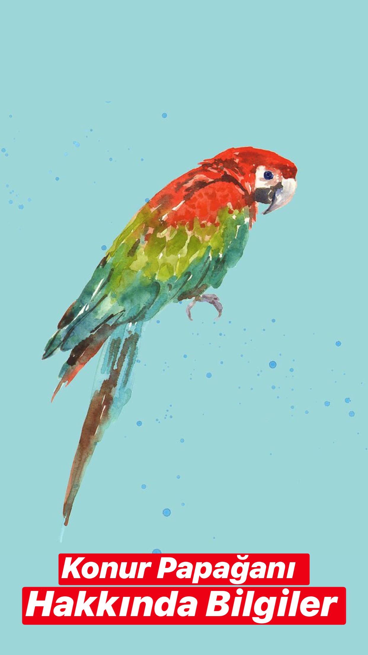 Konur Papağanı Hakkında Bilgiler