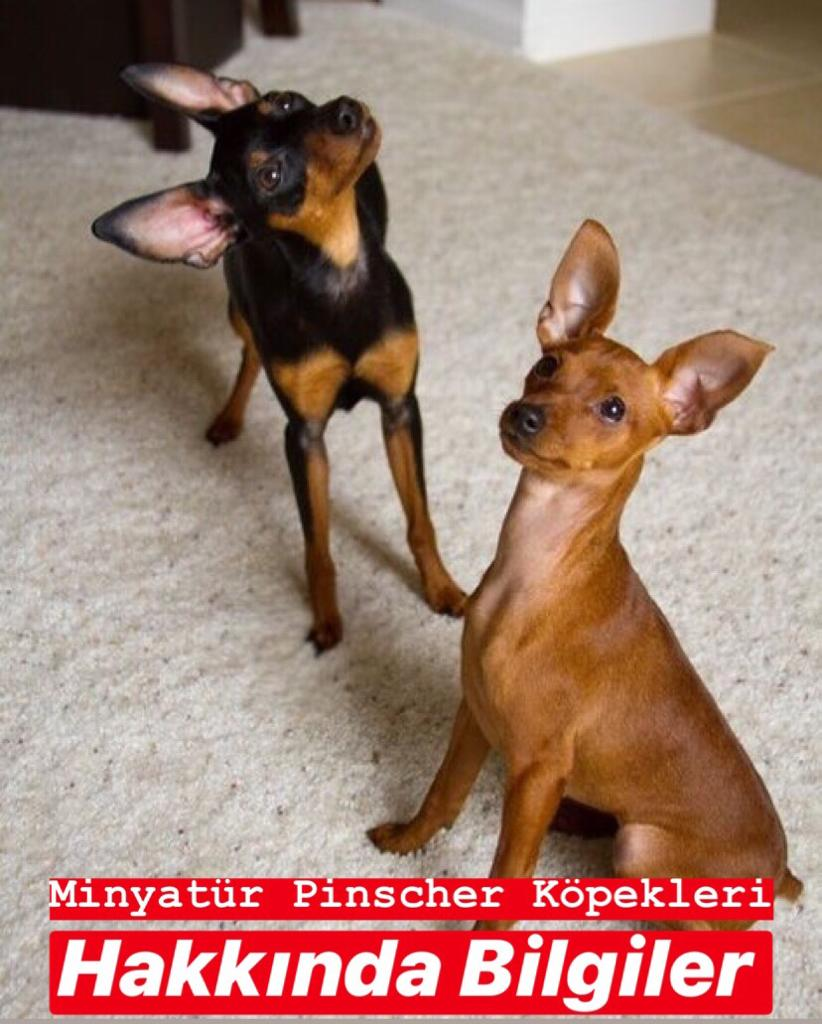 Minyatür Pinscher Köpekleri Hakkında Bilgiler