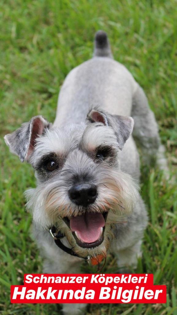 Minyatür Schnauzer Köpekleri Hakkında Bilgiler