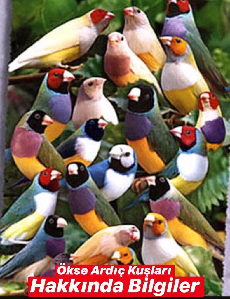 Ökse Ardıç Kuşu Hakkında Bilgiler