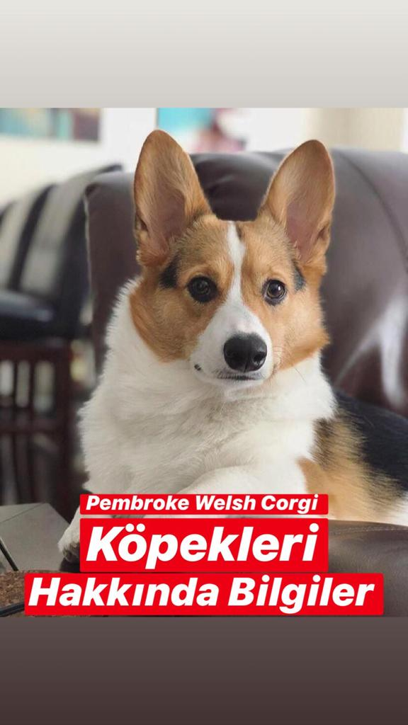Pembroke Welsh Corgi Köpekleri Hakkında Bilgiler