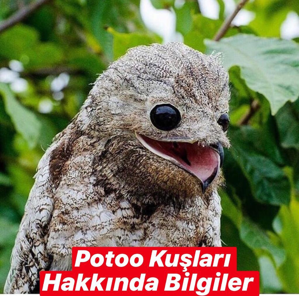 Potoo Kuşları Hakkında Bilgiler