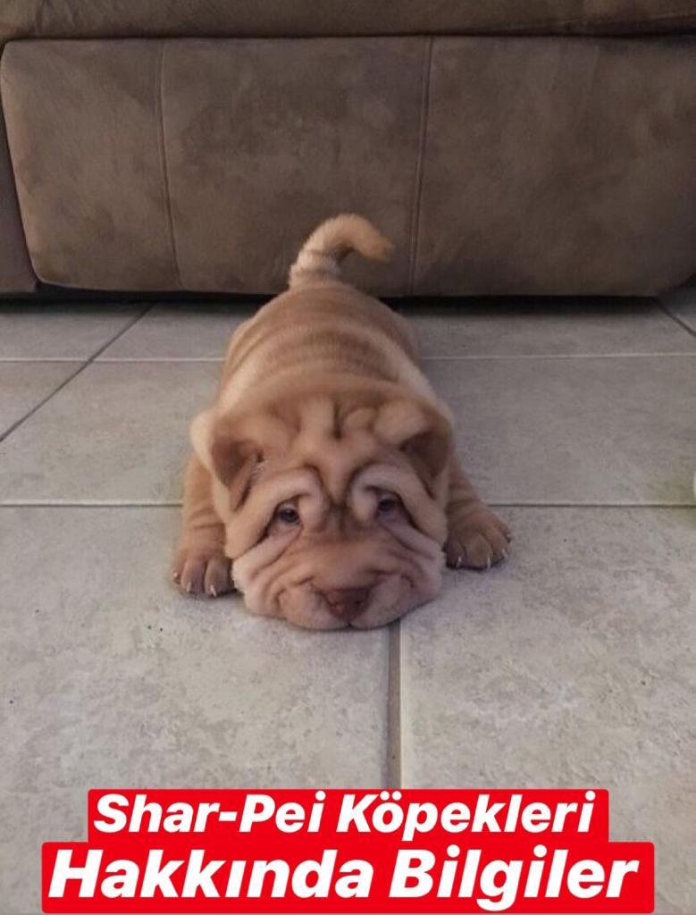Shar-Pei Köpekleri Hakkında Bilgiler
