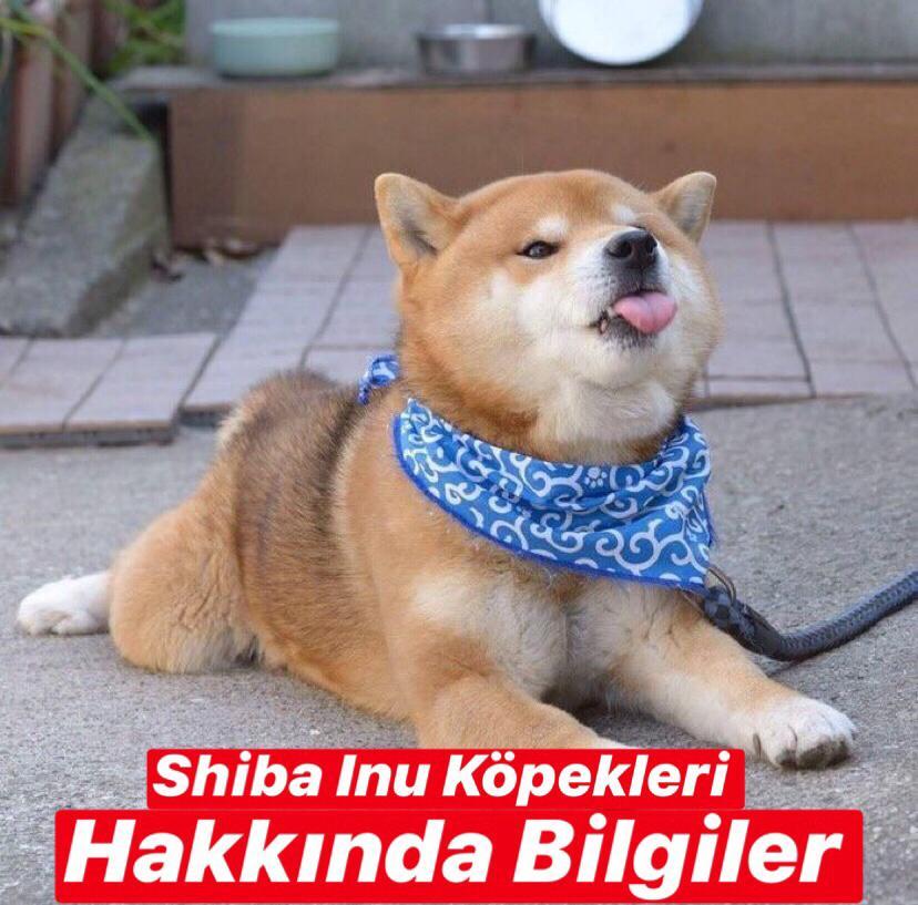 Shiba Inu Köpekleri Hakkında Bilgiler