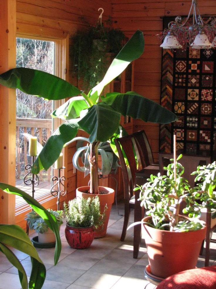 Evde Saksıda Muz Ağacı Yetiştirme