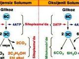 Oksijensiz Solunum Özellikleri Nelerdir?