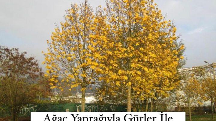 Ağaç Yaprağıyla Gürler İle İlgili Kompozisyon Örnekleri